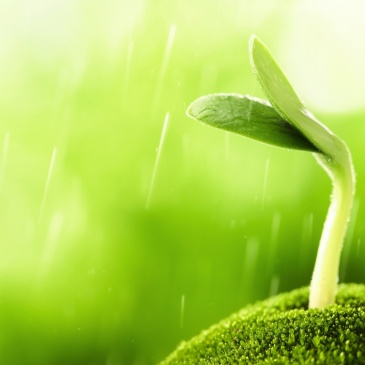 green-bean-sprout-in-rain-growth