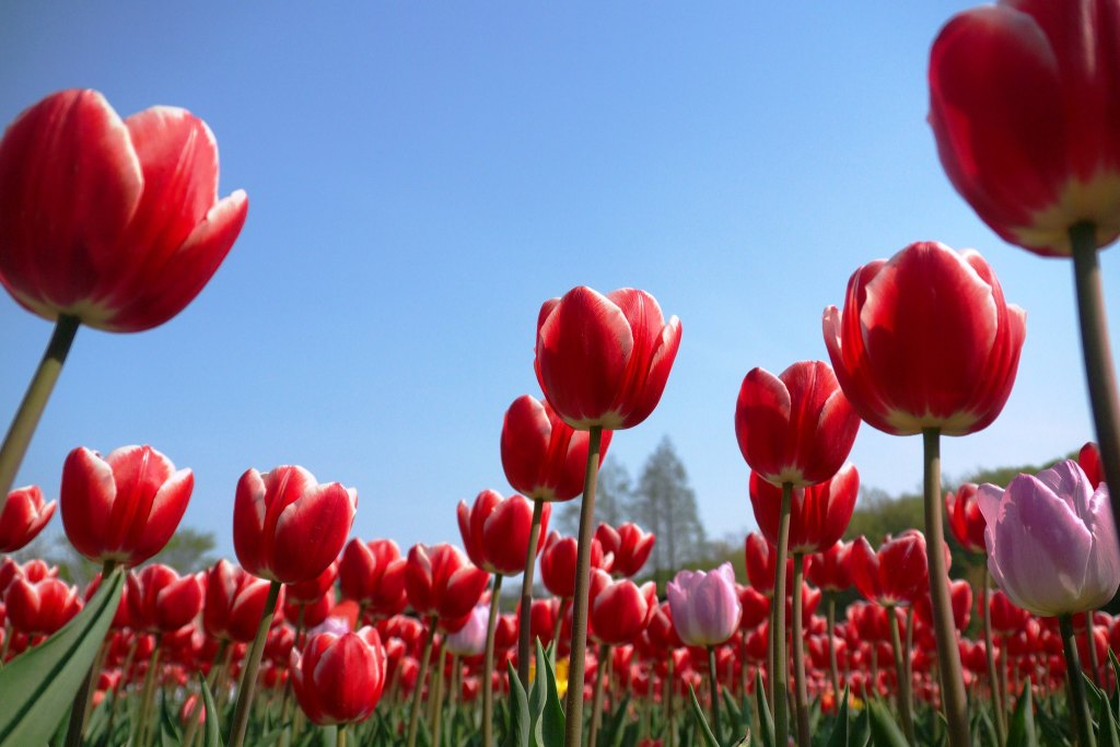 Tulips in Bucheon ECO Park with blue sky